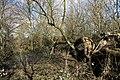Martin Bell's Wood in Wormwood Scrubs Park in London, spring 2013 (2).JPG