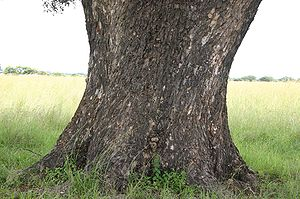Sclerocarya birrea - Marula trunk