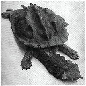 Mata mata - Top view of the mata mata turtle