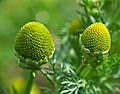 Matricaria discoidea flower (01).jpg