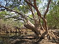 Mature mangrove tree (Avicennia marina) at edge of Lake Be Malae.jpg