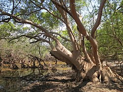 Mature mangrove tree (Avicennia marina) at edge of Lake Be Malae.jpg