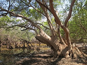 Indus River Delta-Arabian Sea mangroves - Avicennia marina