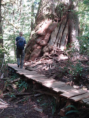 Clayoquot Sound - A giant cedar on Meares Island in Clayoquot Sound