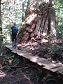 Meares Island boardwalk.jpg