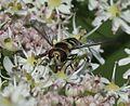 Melangyna labiatarum (female) - Flickr - S. Rae (10).jpg