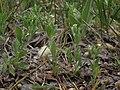 Menzies catchfly, Silene menziesii (39190952364).jpg