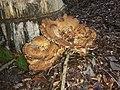 Meripilus giganteus 53505648.jpg
