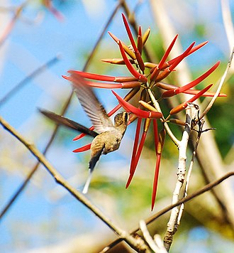 Long-billed hermit - P. l. mexicanus (Mexican hermit)