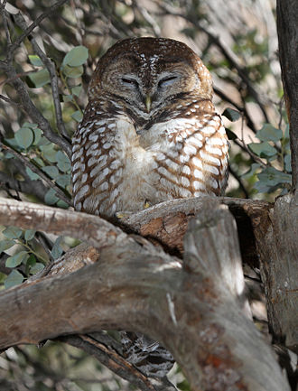 Spotted owl - Mexican spotted owl, Fort Huachuca, Arizona