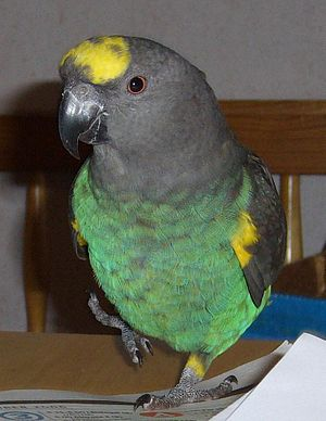 Meyer's parrot - Image: Meyers Parrot (Poicephalus meyeri) pet on table