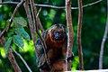 Mico - Amazônia.jpg