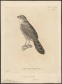 Micrastur ruficollis - 1700-1880 - Print - Iconographia Zoologica - Special Collections University of Amsterdam - UBA01 IZ18300063.tif