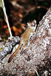 Gray mouse lemur clinging to the side of a tree, looking at camera. Light from the flash reflected back as eyeshine