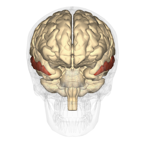 file:middle temporal gyrus anterior - wikimedia commons, Human Body