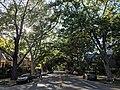 Midtown Sacramento Tree Canopy.jpg