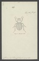Migadops - Print - Iconographia Zoologica - Special Collections University of Amsterdam - UBAINV0274 009 05 0045.tif