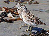 Mikebaird - dowitcher-short-billed-2871-133 (by).jpg