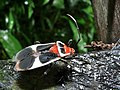 Milkweed Bug (Largidae) (8424387320).jpg