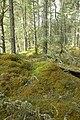 Millbuie Forest woodland scene - geograph.org.uk - 760935.jpg