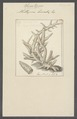 Millepora lineata - - Print - Iconographia Zoologica - Special Collections University of Amsterdam - UBAINV0274 111 09 0003.tif