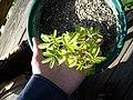 Mimosa-tenuiflora-yellow2.jpg
