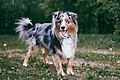 Miniature-american-shepherd-energies.jpg