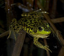 Mink Frog at night.jpg