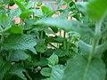 Mint leaves growing in Brazil.jpg