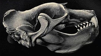Elephant seal - Skull of a northern elephant seal.