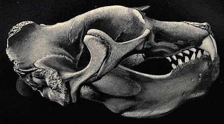 Skull of a northern elephant seal. Miroungaskull.jpg