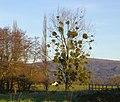 Mistletoe, Park Farm, Colwall - geograph.org.uk - 1075299.jpg
