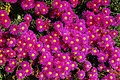 Mittagsblume (Dorotheanthus) (27441119102).jpg