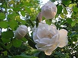 A group of loosely petaled white roses with a tint of pale pink, with the flowers at various stages from a closed bud to a fully open flower, green foliage behind.