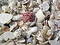 Mollusc shells on marine beach (Cayo Costa Island, Florida, USA) 10 (23700772703).jpg
