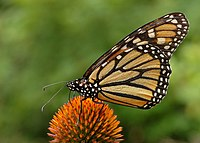 Monarch Butterfly Danaus plexippus on Echinacea purpurea 2800px.jpg