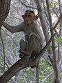Monkey from Savandurga IMG 2523.jpg