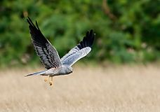Montagu's Harrier- Male.JPG