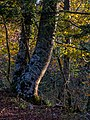 Montes de Vitoria - Haya 01.jpg