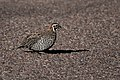 Montezuma Quail (male) SW Research Station Portal AZ 2018-09-05 07-22-43 (43611204925).jpg