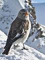 Montifringilla nivalis -Swiss Alps-8 Cropped.jpg