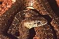Montpellier Snake (Malpolon monspessulanus) female (Thanks to Jean Nicolas) (42533246140).jpg