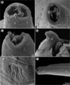 Moravec & Justine Spirurida 2020 parasite190153-fig8.png