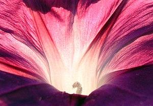 Ipomoea purpurea - Image: Morning Glory Pink 1