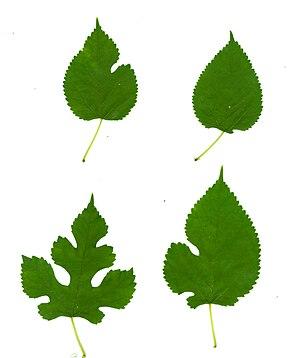 Morus alba - Leaf variation