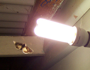 English: Moth attracted by porchlight