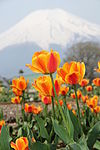 Mount Fuji and Tulips 4.jpg