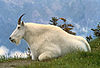photograph of mountain goat