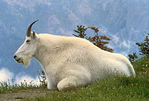 Glacier National Park (U.S.) - Mountain goat, official symbol of Glacier NP