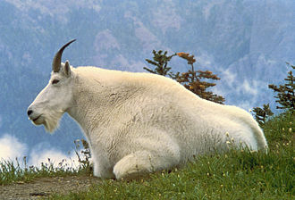 Glacier National Park (U.S.) - Mountain goat, official symbol of Glacier NP